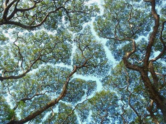 copaci timizi coroanele nu se ating